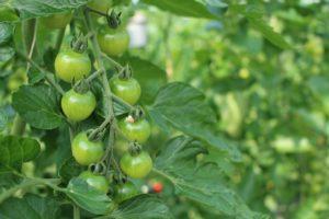tomato-697275_1280