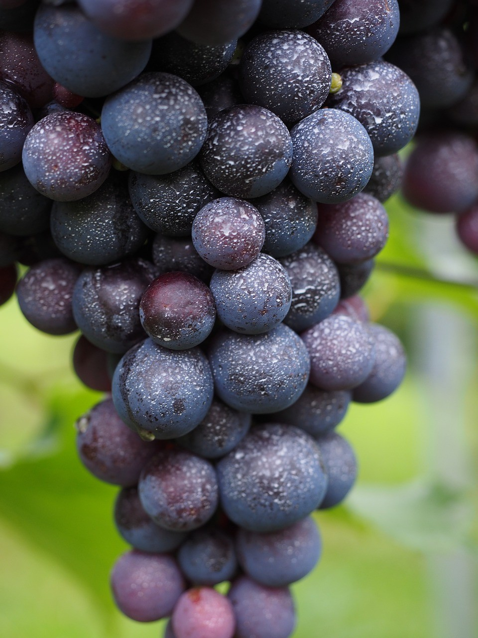 wine-berries-694185_1280