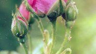 Czasami nasz ogród i nasza ciężka praca może być totalnie zniszczona przez maleńkie, niepozorne przędziorki. Tutaj przedstawimy najlepsze naturalne sposoby zwalczania szkodników w ogrodzie. Przędziorek – jak on wygląda? Przędziorek […]