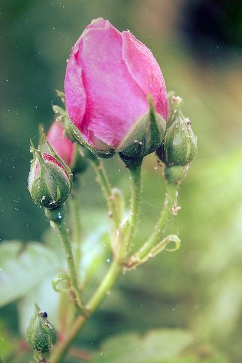 rose-816132_960_720