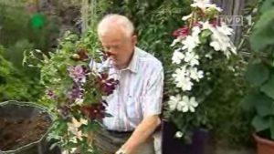 Rok w ogrodzie - Powojniki na balkonie, łopiany w warzywniku